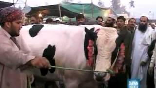 Anokha Janwar ( Jo Donkey & Camel Ki Avas Nikalta hai )
