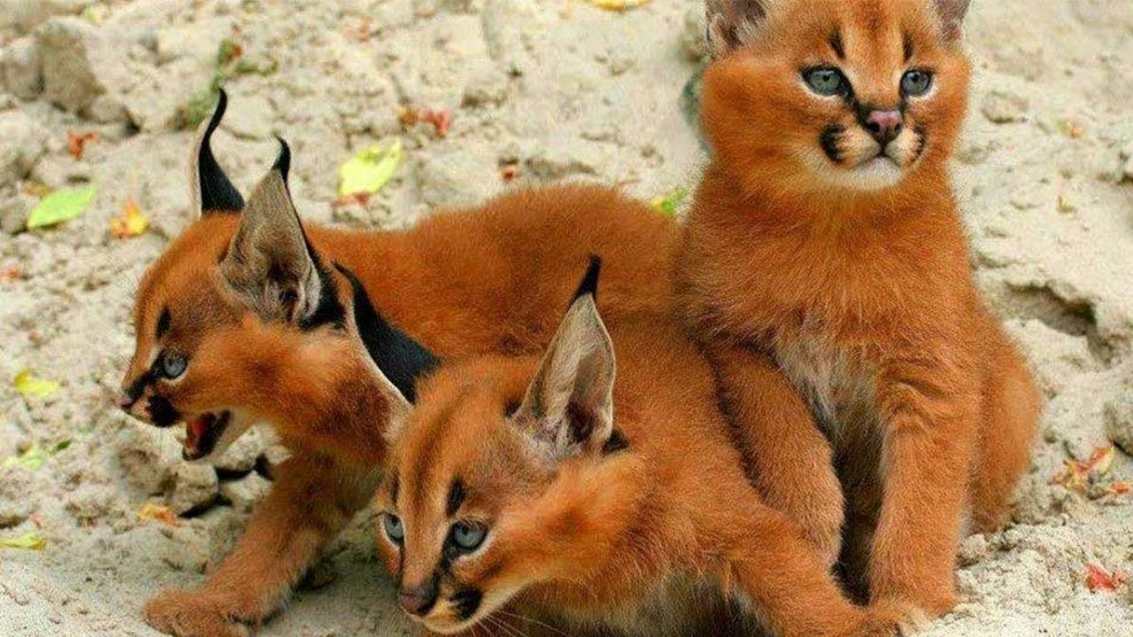 14 RAREST Cat Breeds In The World!