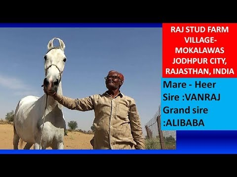 Raj Stud Farm For Best Indian Horse Breed - Marwari Mare By Vanraj & Alibaba - Jodhpur, India