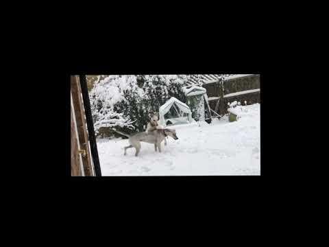 Lurcher Dogs Play Brawling In Fresh Snow