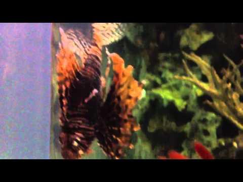 Lion fish at mandalay bay