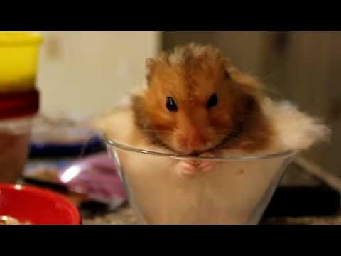 hamster Happy showing us how to eat a pumpkin seed