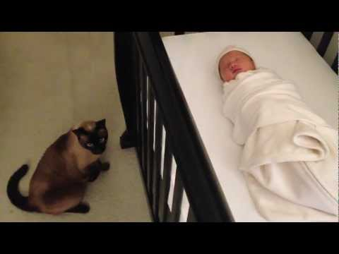 Siamese Cat gets caught stalking and spying on a newborn Baby