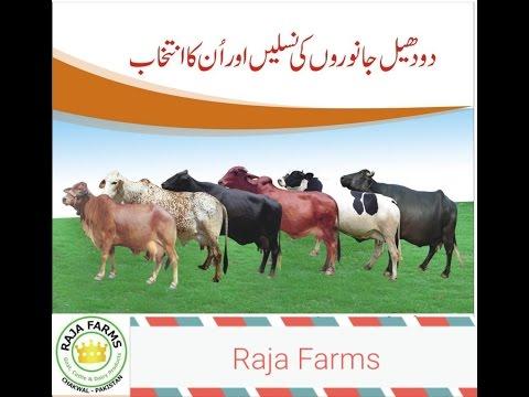 Milking Animals in Pakistan Complete Detail