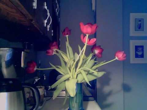 time lapse vid of a tulip de-wilting