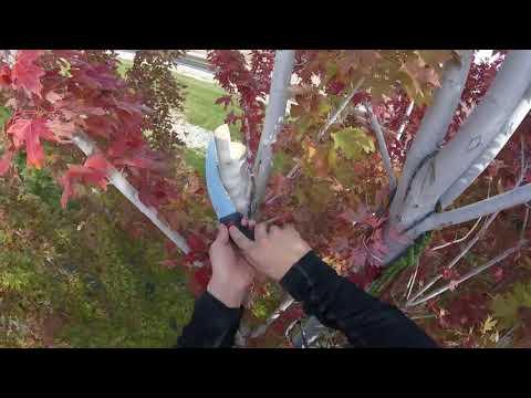 Structure Pruning an Autumn Blaze Maple