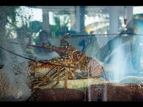Live Lobster available at Tropics Cafe