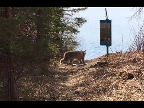 'You don't see that everyday', Canadian Lynx caught hunting rabbits