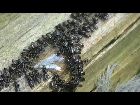 Odorous House Ants Feeding On Ant Bait