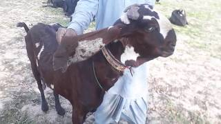 Pure Nagri Goat For Sale Rate 90000/- On Youtube - Beetal Goats