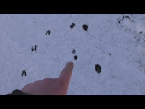 Tracking in the Snow - Animal Tracks UK