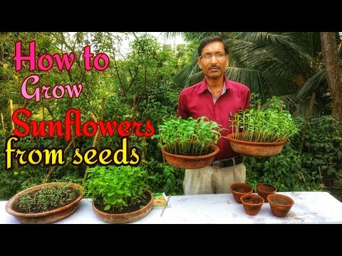 How to Grow Sunflowers from Seeds with great Success.