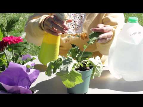 How to Get Rid of White Mold on Gerbera Daisies : Gerbera Plant Care