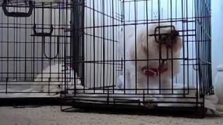 Dog unlocking his crate