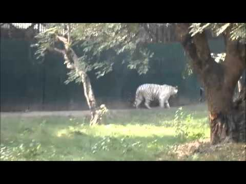 Xxx Mp4 White Tiger Is Hungry Waiting For Food 3gp Sex