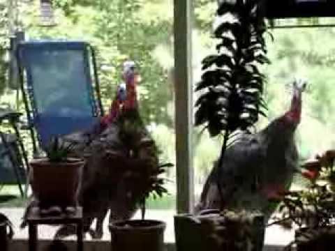Asheville Turkey Invasion