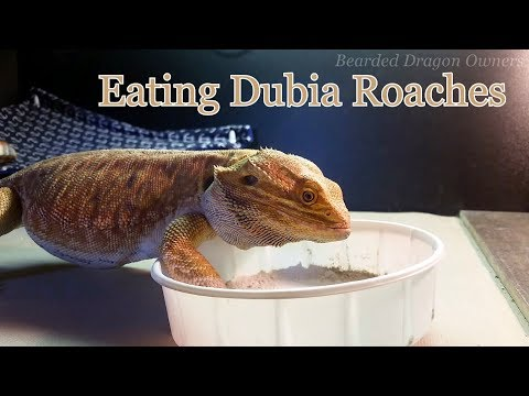 Bearded Dragon Owners // Blaze Eating Dubia Roaches.
