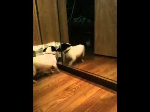 Video of adoptable pet Pistol in CT