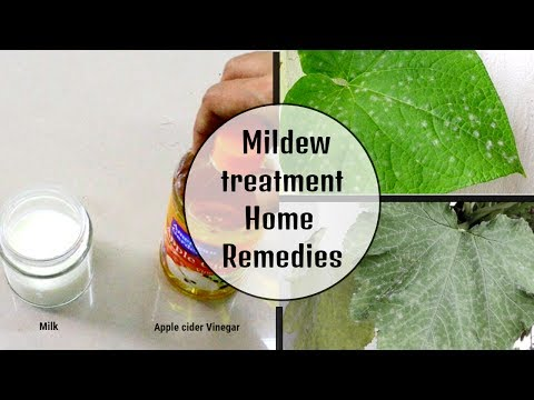 Milk and vinegar treatment for mildew in cucumber plant | Very effective method