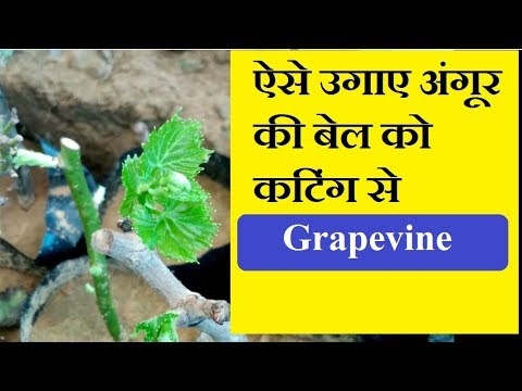 How to Grow Grapevine From Cuttings /Easy Way to Grow Plant /Mammal Bonsai