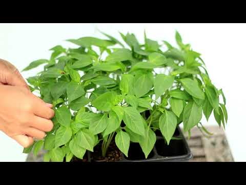 Aphids on vegetable seedlings? The best and easiest method to deal