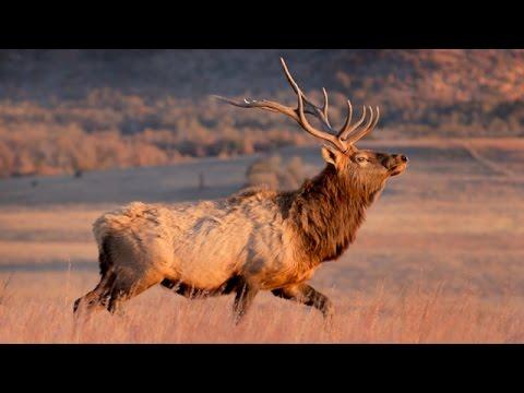 Elk Make Creepy Shrieks By Whistling Through Their Noses - Newsy