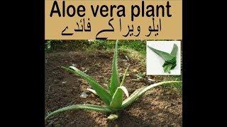 ایلو ویرا کے فائدے Benefits of Aloevera plant