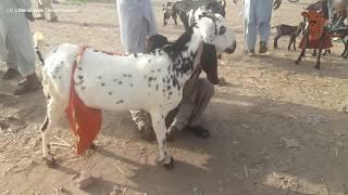 Giant Goats - Huge Sahiwal Goats Shahpur Kanjra Mandi Lahore