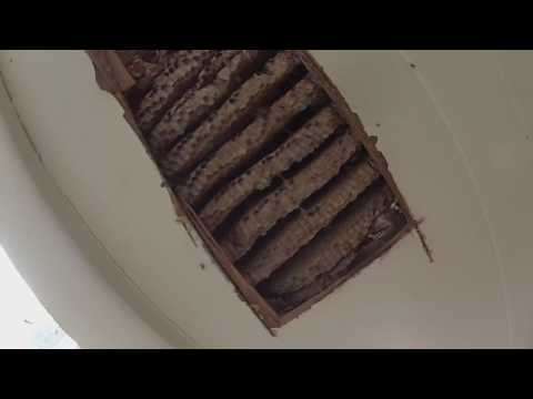 Yellow Jackets Nesting In Wall Cavity.