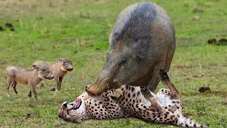 OMG! The God Help Mother Warthog Take Down Leopard and Cheetah To Save Her Baby - Lion vs Wild Dogs