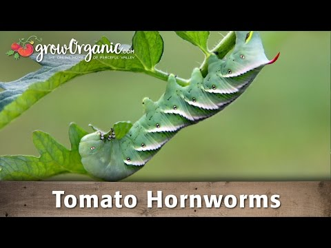 How to Get Rid of Tomato Hornworms