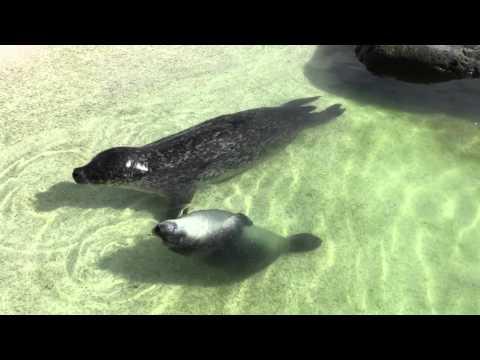seals in the Reykjavík Zoo