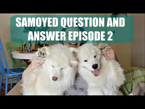 Samoyed/ Dog Q & A Part 2 | Barking, Crate Training, Shedding, New Puppy Tips, Tear Staining