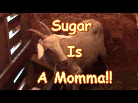 Sugar Is A Momma