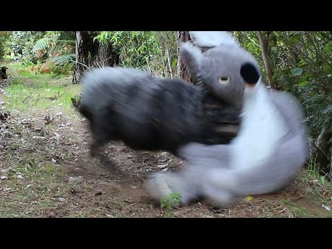 Angry Ram vs Giant Koala
