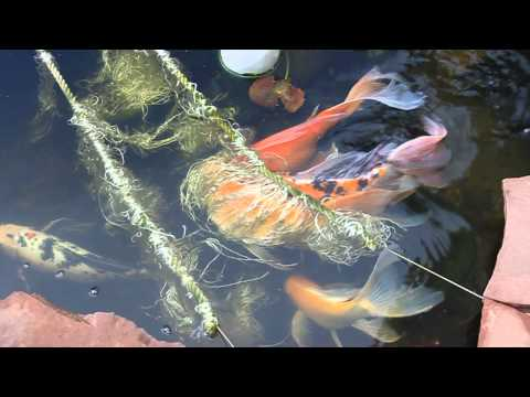 Butterfly Koi Spawn