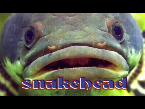 know about the snakehead, before you decide to fill your tank