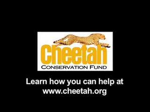 Help Us Save the Wild Cheetah