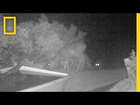 Rare Video: Cougar Pounces on Deer | National Geographic
