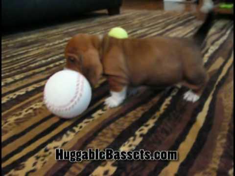 Basset Hound Puppy Dance
