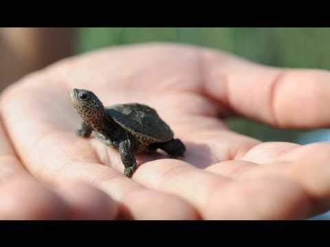Baby turtles get a helping hand