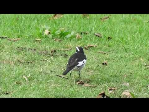 Birding in the Eastern Cape, South Africa - African Pied Wagtail