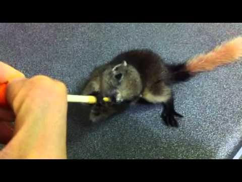 Baby squirrel drinking Esbiliac milk part 2