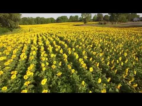 Sunflowers Fields / Maze - The Inn Between - Camillus NY in 4K