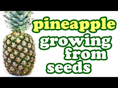 How To Grow A Pineapple Plant From Seeds - Growing Pineapples Fruit Trees - Tropical Fruits Jazevox