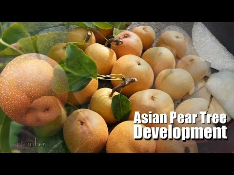 🍊 Flower to Fruit ᴴᴰ    Asian Pear tree development 2015    Pyrus Pyrifolia    Nashi Pear