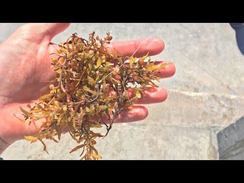 Catching Fish Using Seaweed!