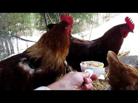 Starry Vlog: CARING FOR A INJURED CHICKEN! HELP THEM!!!