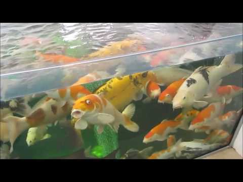 Understanding koi pond filters and what filters work best together Nexus, drums and bakki showers