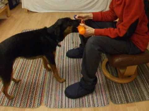 Clicker Training a Bird Dog Retrieve Part 1 Shaping and Chaining The Basic Retrieve (Fetch)